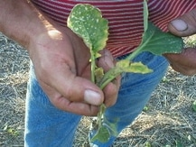 Group 2 herbicide damage on Liberty canola